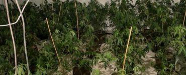 Marijuana cultivation, a doorway to Power theft?